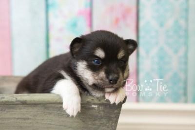 puppy56 week3 BowTiePomsky.com Bowtie Pomsky Puppy For Sale Husky Pomeranian Mini Dog Spokane WA Breeder Blue Eyes Pomskies web4