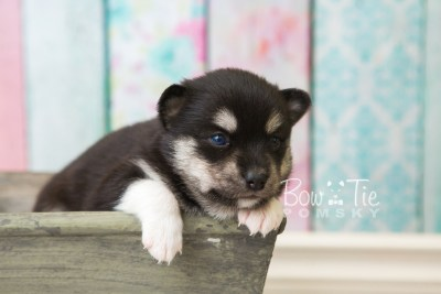 puppy56 week3 BowTiePomsky.com Bowtie Pomsky Puppy For Sale Husky Pomeranian Mini Dog Spokane WA Breeder Blue Eyes Pomskies web4
