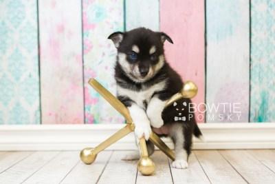 puppy56 week5 BowTiePomsky.com Bowtie Pomsky Puppy For Sale Husky Pomeranian Mini Dog Spokane WA Breeder Blue Eyes Pomskies web2