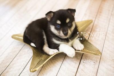 puppy56 week5 BowTiePomsky.com Bowtie Pomsky Puppy For Sale Husky Pomeranian Mini Dog Spokane WA Breeder Blue Eyes Pomskies web3