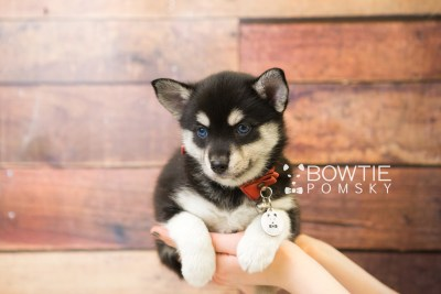 puppy56 week7 BowTiePomsky.com Bowtie Pomsky Puppy For Sale Husky Pomeranian Mini Dog Spokane WA Breeder Blue Eyes Pomskies web3