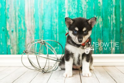 puppy56 week7 BowTiePomsky.com Bowtie Pomsky Puppy For Sale Husky Pomeranian Mini Dog Spokane WA Breeder Blue Eyes Pomskies web4