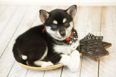 puppy56 week7 BowTiePomsky.com Bowtie Pomsky Puppy For Sale Husky Pomeranian Mini Dog Spokane WA Breeder Blue Eyes Pomskies web5