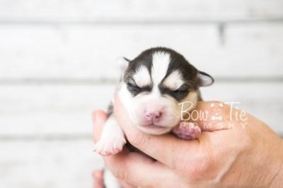puppy57 week1 BowTiePomsky.com Bowtie Pomsky Puppy For Sale Husky Pomeranian Mini Dog Spokane WA Breeder Blue Eyes Pomskies web3