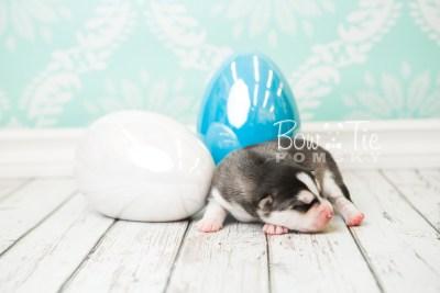 puppy57 week1 BowTiePomsky.com Bowtie Pomsky Puppy For Sale Husky Pomeranian Mini Dog Spokane WA Breeder Blue Eyes Pomskies web6
