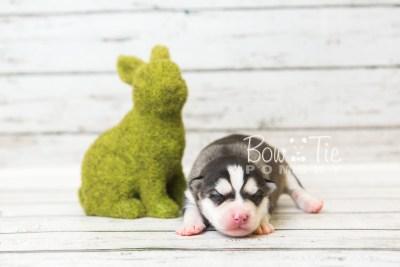 puppy57 week1 BowTiePomsky.com Bowtie Pomsky Puppy For Sale Husky Pomeranian Mini Dog Spokane WA Breeder Blue Eyes Pomskies web7
