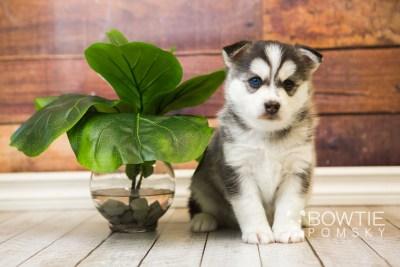 puppy57 week5 BowTiePomsky.com Bowtie Pomsky Puppy For Sale Husky Pomeranian Mini Dog Spokane WA Breeder Blue Eyes Pomskies web3