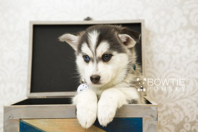 puppy57 week7 BowTiePomsky.com Bowtie Pomsky Puppy For Sale Husky Pomeranian Mini Dog Spokane WA Breeder Blue Eyes Pomskies web6