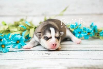 puppy58 week1 BowTiePomsky.com Bowtie Pomsky Puppy For Sale Husky Pomeranian Mini Dog Spokane WA Breeder Blue Eyes Pomskies web4