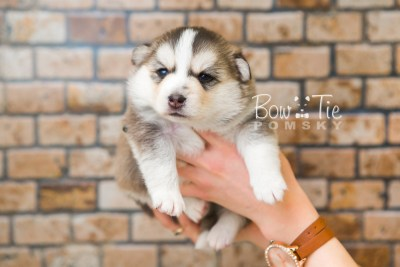 puppy58 week3 BowTiePomsky.com Bowtie Pomsky Puppy For Sale Husky Pomeranian Mini Dog Spokane WA Breeder Blue Eyes Pomskies web5