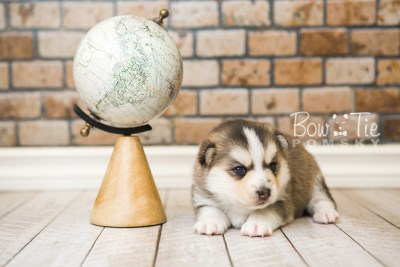 puppy58 week3 BowTiePomsky.com Bowtie Pomsky Puppy For Sale Husky Pomeranian Mini Dog Spokane WA Breeder Blue Eyes Pomskies web6