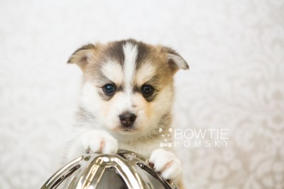 puppy58 week5 BowTiePomsky.com Bowtie Pomsky Puppy For Sale Husky Pomeranian Mini Dog Spokane WA Breeder Blue Eyes Pomskies web1
