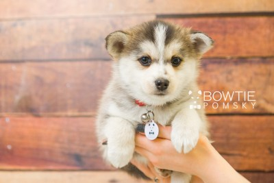 puppy58 week7 BowTiePomsky.com Bowtie Pomsky Puppy For Sale Husky Pomeranian Mini Dog Spokane WA Breeder Blue Eyes Pomskies web3