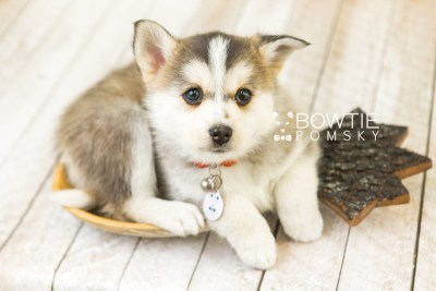 puppy58 week7 BowTiePomsky.com Bowtie Pomsky Puppy For Sale Husky Pomeranian Mini Dog Spokane WA Breeder Blue Eyes Pomskies web6