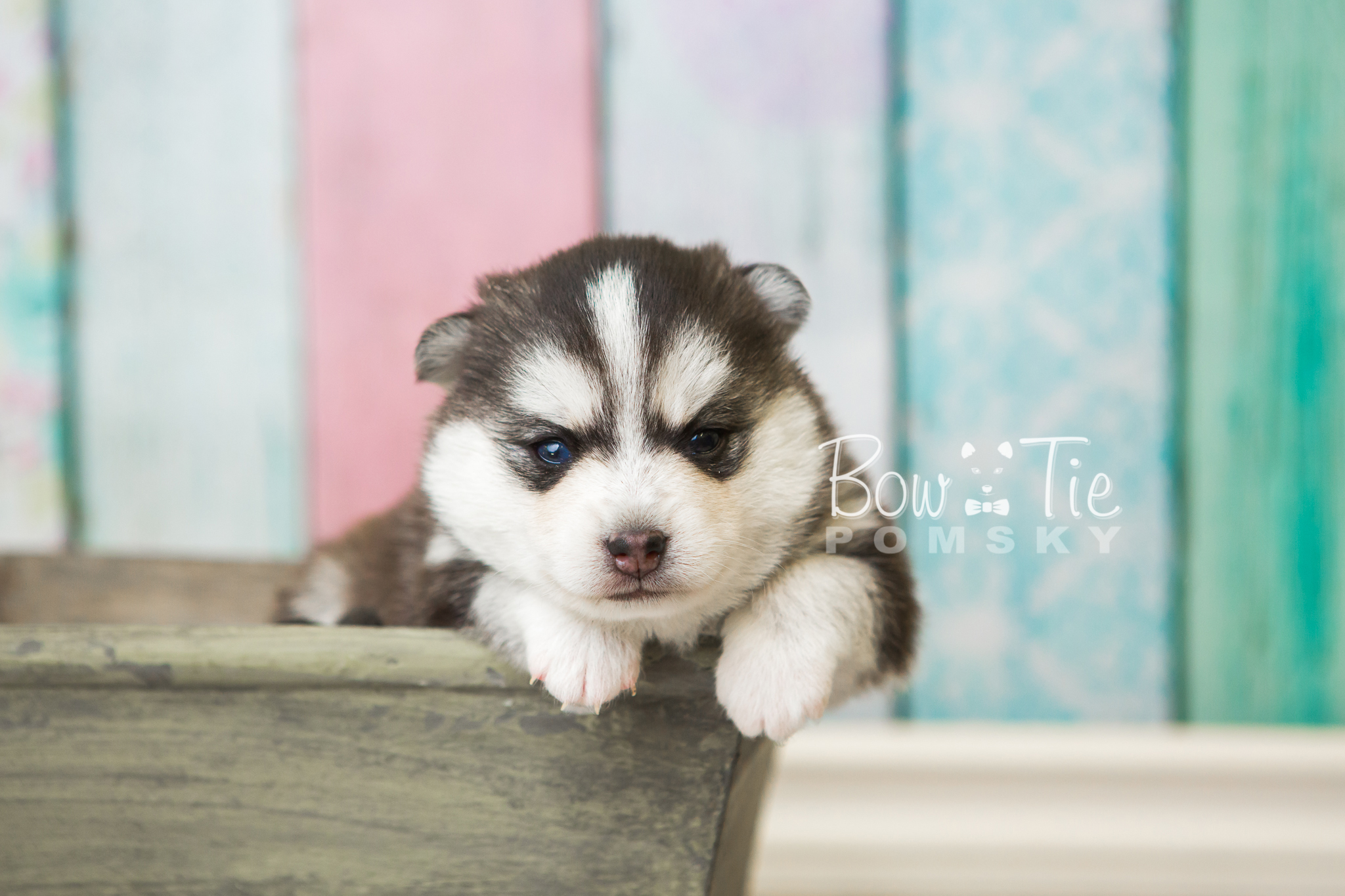 Siberian Husky Puppies For Sale Spokane Wa Will Be A Thing