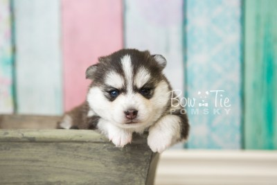 puppy59 week3 BowTiePomsky.com Bowtie Pomsky Puppy For Sale Husky Pomeranian Mini Dog Spokane WA Breeder Blue Eyes Pomskies web4