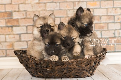 puppy60-67 week5 BowTiePomsky.com Bowtie Pomsky Puppy For Sale Husky Pomeranian Mini Dog Spokane WA Breeder Blue Eyes Pomskies girls web