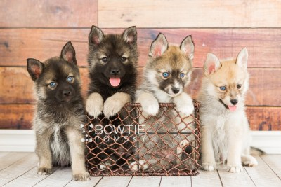puppy60-67 week7 BowTiePomsky.com Bowtie Pomsky Puppy For Sale Husky Pomeranian Mini Dog Spokane WA Breeder Blue Eyes Pomskies boys web