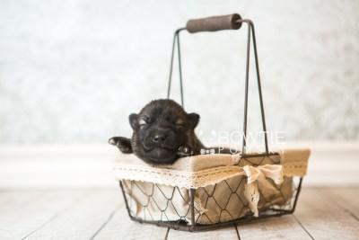 puppy60 week1 BowTiePomsky.com Bowtie Pomsky Puppy For Sale Husky Pomeranian Mini Dog Spokane WA Breeder Blue Eyes Pomskies web1
