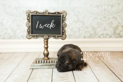 puppy60 week1 BowTiePomsky.com Bowtie Pomsky Puppy For Sale Husky Pomeranian Mini Dog Spokane WA Breeder Blue Eyes Pomskies web5