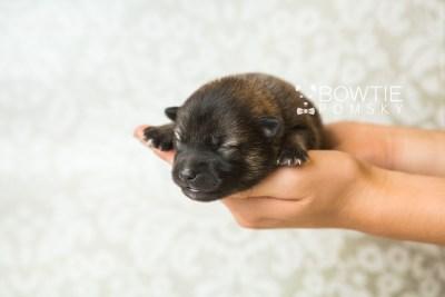 puppy60 week1 BowTiePomsky.com Bowtie Pomsky Puppy For Sale Husky Pomeranian Mini Dog Spokane WA Breeder Blue Eyes Pomskies web6