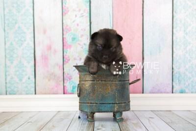 puppy60 week3 BowTiePomsky.com Bowtie Pomsky Puppy For Sale Husky Pomeranian Mini Dog Spokane WA Breeder Blue Eyes Pomskies web2