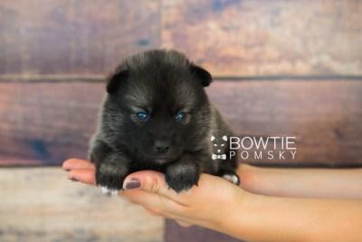 puppy60 week3 BowTiePomsky.com Bowtie Pomsky Puppy For Sale Husky Pomeranian Mini Dog Spokane WA Breeder Blue Eyes Pomskies web6