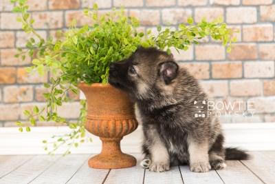 puppy60 week5 BowTiePomsky.com Bowtie Pomsky Puppy For Sale Husky Pomeranian Mini Dog Spokane WA Breeder Blue Eyes Pomskies web2