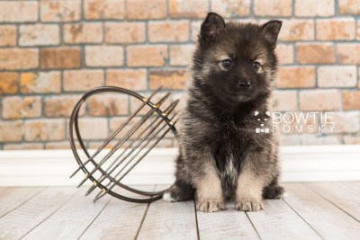 puppy60 week5 BowTiePomsky.com Bowtie Pomsky Puppy For Sale Husky Pomeranian Mini Dog Spokane WA Breeder Blue Eyes Pomskies web3