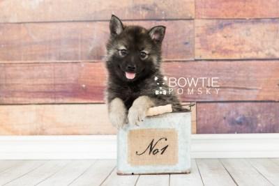 puppy60 week7 BowTiePomsky.com Bowtie Pomsky Puppy For Sale Husky Pomeranian Mini Dog Spokane WA Breeder Blue Eyes Pomskies web2