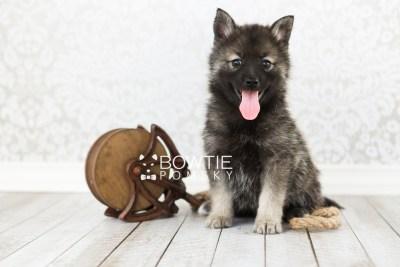 puppy60 week7 BowTiePomsky.com Bowtie Pomsky Puppy For Sale Husky Pomeranian Mini Dog Spokane WA Breeder Blue Eyes Pomskies web5