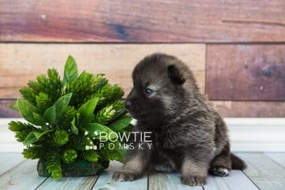 puppy61 week3 BowTiePomsky.com Bowtie Pomsky Puppy For Sale Husky Pomeranian Mini Dog Spokane WA Breeder Blue Eyes Pomskies web1