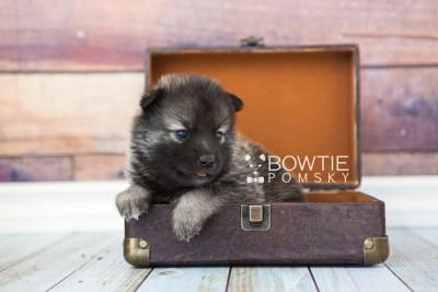 puppy61 week3 BowTiePomsky.com Bowtie Pomsky Puppy For Sale Husky Pomeranian Mini Dog Spokane WA Breeder Blue Eyes Pomskies web3