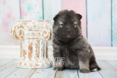 puppy61 week3 BowTiePomsky.com Bowtie Pomsky Puppy For Sale Husky Pomeranian Mini Dog Spokane WA Breeder Blue Eyes Pomskies web5