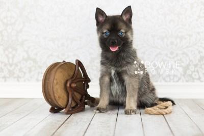 puppy61 week7 BowTiePomsky.com Bowtie Pomsky Puppy For Sale Husky Pomeranian Mini Dog Spokane WA Breeder Blue Eyes Pomskies web1