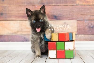 puppy61 week7 BowTiePomsky.com Bowtie Pomsky Puppy For Sale Husky Pomeranian Mini Dog Spokane WA Breeder Blue Eyes Pomskies web6