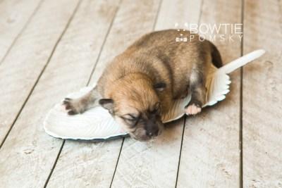 puppy62 week1 BowTiePomsky.com Bowtie Pomsky Puppy For Sale Husky Pomeranian Mini Dog Spokane WA Breeder Blue Eyes Pomskies web4