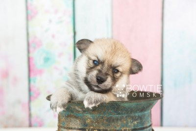 puppy62 week3 BowTiePomsky.com Bowtie Pomsky Puppy For Sale Husky Pomeranian Mini Dog Spokane WA Breeder Blue Eyes Pomskies web2