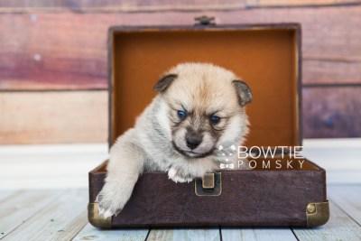 puppy62 week3 BowTiePomsky.com Bowtie Pomsky Puppy For Sale Husky Pomeranian Mini Dog Spokane WA Breeder Blue Eyes Pomskies web5