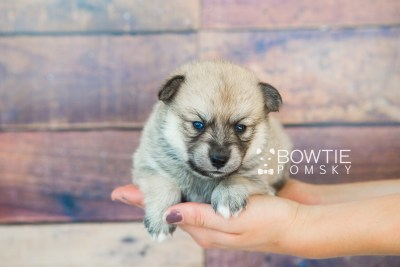puppy62 week3 BowTiePomsky.com Bowtie Pomsky Puppy For Sale Husky Pomeranian Mini Dog Spokane WA Breeder Blue Eyes Pomskies web6