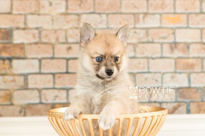 puppy62 week5 BowTiePomsky.com Bowtie Pomsky Puppy For Sale Husky Pomeranian Mini Dog Spokane WA Breeder Blue Eyes Pomskies web1