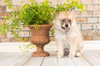 puppy62 week5 BowTiePomsky.com Bowtie Pomsky Puppy For Sale Husky Pomeranian Mini Dog Spokane WA Breeder Blue Eyes Pomskies web2