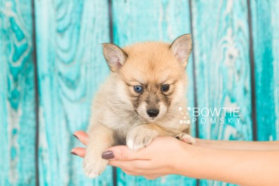 puppy62 week5 BowTiePomsky.com Bowtie Pomsky Puppy For Sale Husky Pomeranian Mini Dog Spokane WA Breeder Blue Eyes Pomskies web5