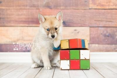 puppy62 week7 BowTiePomsky.com Bowtie Pomsky Puppy For Sale Husky Pomeranian Mini Dog Spokane WA Breeder Blue Eyes Pomskies web2