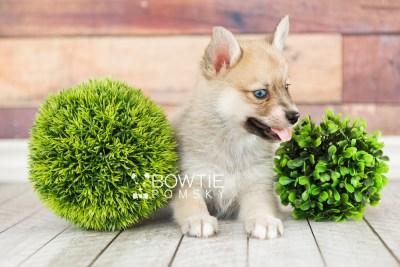 puppy62 week7 BowTiePomsky.com Bowtie Pomsky Puppy For Sale Husky Pomeranian Mini Dog Spokane WA Breeder Blue Eyes Pomskies web3