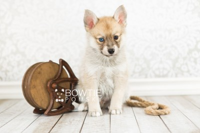 puppy62 week7 BowTiePomsky.com Bowtie Pomsky Puppy For Sale Husky Pomeranian Mini Dog Spokane WA Breeder Blue Eyes Pomskies web5