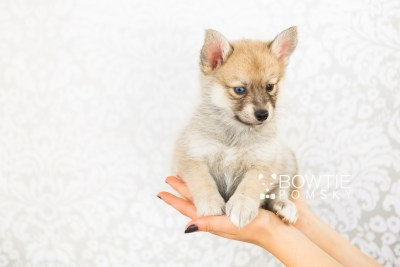 puppy62 week7 BowTiePomsky.com Bowtie Pomsky Puppy For Sale Husky Pomeranian Mini Dog Spokane WA Breeder Blue Eyes Pomskies web6