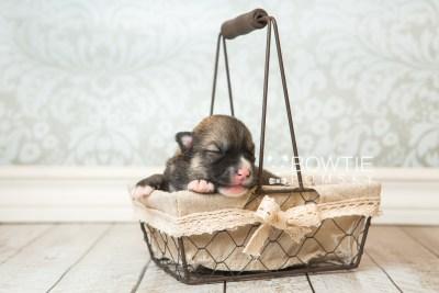 puppy63 week1 BowTiePomsky.com Bowtie Pomsky Puppy For Sale Husky Pomeranian Mini Dog Spokane WA Breeder Blue Eyes Pomskies web1