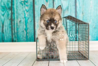 puppy63 week5 BowTiePomsky.com Bowtie Pomsky Puppy For Sale Husky Pomeranian Mini Dog Spokane WA Breeder Blue Eyes Pomskies web2