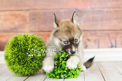 puppy63 week7 BowTiePomsky.com Bowtie Pomsky Puppy For Sale Husky Pomeranian Mini Dog Spokane WA Breeder Blue Eyes Pomskies web4